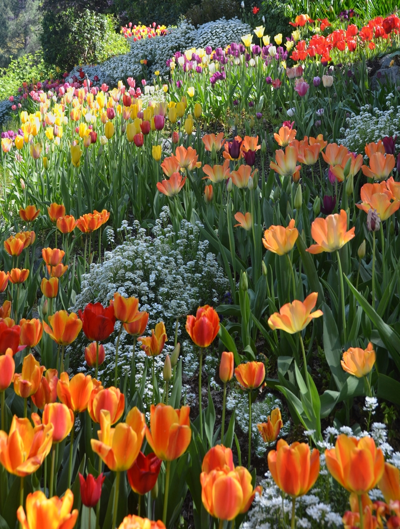 Heavenly Tulips
